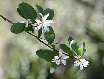 Western serviceberry bush photo