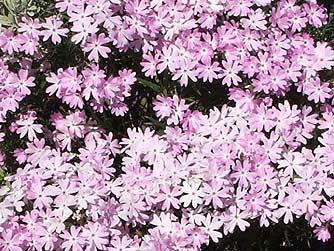 Pictures of showy phlox or Phlox speciosa
