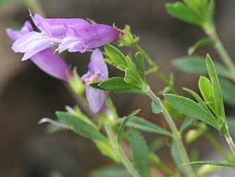 Picture of shrubby penstemon