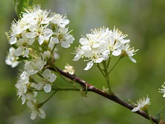 Горькие вишни