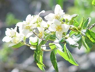 Picture Of Mock Orange Flowers
