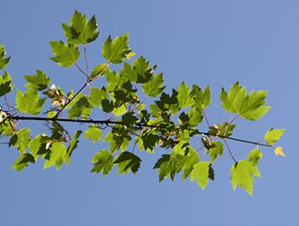 Rocky Mountain Maple Pictures