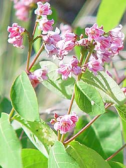 http://www.bentler.us/eastern-washington/plants/shrubs/speading-dogbane-flowers.jpg