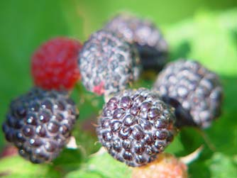whitebark-raspberries.jpg