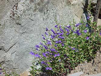 pacific northwest purple wildflowers  Purple wildflower - narrowleaf sku...