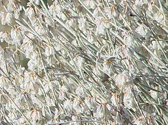Picture of snow buckwheat flowers