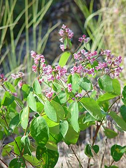 Spreading dogbane pictures