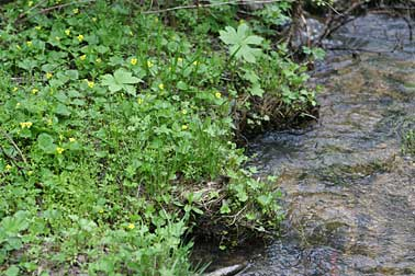 Picture of yellow stream violets growing along a creek