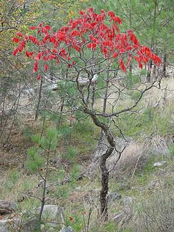 Eastern Washington sumac in fall