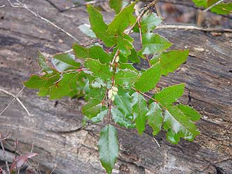 Tall Oregon grape picture