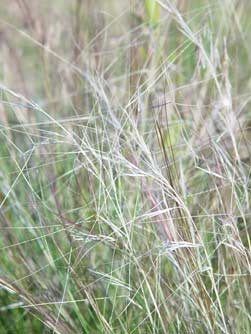 Red three-awn grass picture
