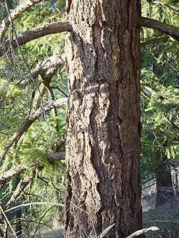 Rocky Mountain Douglas Fir Tree for Sale  FastGrowing