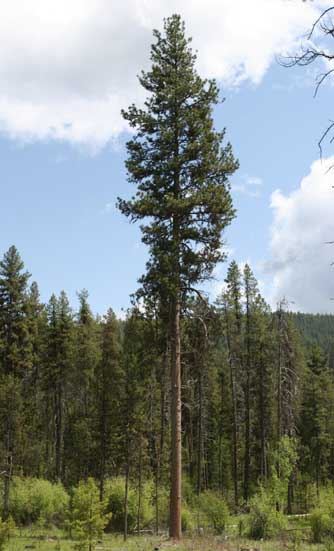 Ponderosa pine tree pictures and information