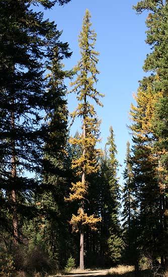 external image western-larch-tree-fall2.jpg