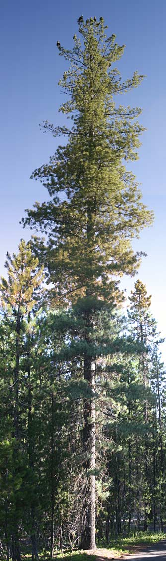 Eastern Washington Native Trees