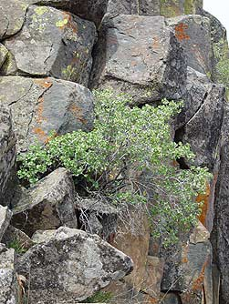 Picture of wax currant bush growing in rocks