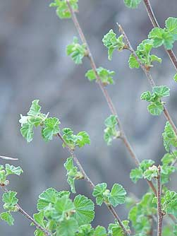 Picture of wax currant leaves