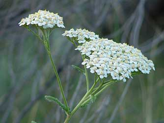 here are some herb pics.... Yarrow